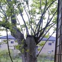 復活する柿の木