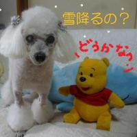 7日 大雪…東京は初雪? 老犬ラスさんはまたトリミング (*´∇`*)