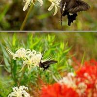 クロアゲハ蝶とリコリス