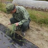 長ネギの苗を購入 苗の植え付けと種まき