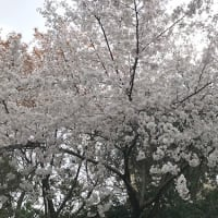 桜わさわさ