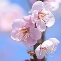 春を呼べ ~ 梅花