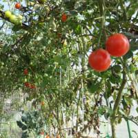 記録、トマトまだ採れます!