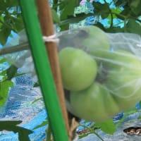 家庭菜園 トマト・トウモロコシの虫防止と小玉スイカの対策