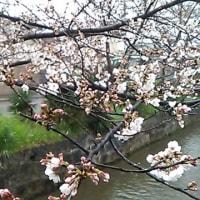 玉串川沿いの桜も今年は