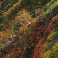 越後駒ケ岳の ダケカンバ 4態