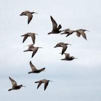 チュウシャクシギ 群れ飛ぶ