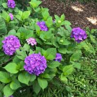紫陽花の花  2019年6月14日