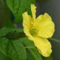 8月後半のゴーヤ(8/22~)小さな実と元気な雌花