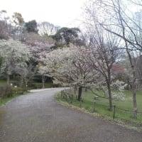 桜が咲いているのに残念;コロナ蔓延でJR回数券の払い戻す