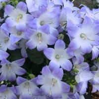 ファンシーミーの花は