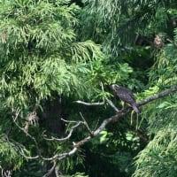 サシバ 幼鳥
