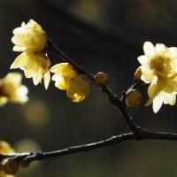 蝋梅・満作・梅が咲く花見山公園にて(2021.2.28)