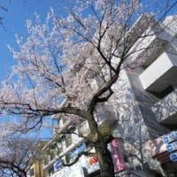 大泉の桜の開花情報
