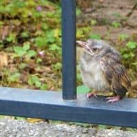 a fledgling