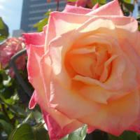 薔薇の魅力に、心惹かれて・・・ ~バラ便り~(7)