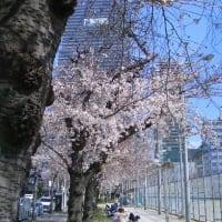 今年もこっそりお花見ランチ〜2〜
