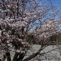 保土ヶ谷公園の桜は今週末見頃