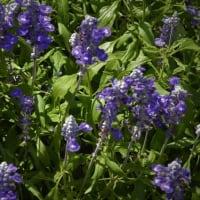 これも、♪サルビアの花