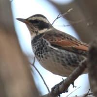 大室公園の野鳥2021(その2)と紅梅白梅