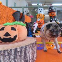 新入犬のボストンテリアの【パッチくん】  犬のしつけ教室@アロハドギー