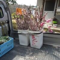 桃の節句に桃の花を出荷しました