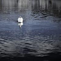 白鳥の冬鏡、冬の水瀬