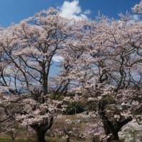 福島の一本桜めぐり 2021