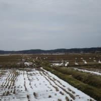 久しぶり小泉潟(男潟)で鴨の群れを見る