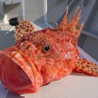 釣り魚の食べ時(2)オニカサゴ