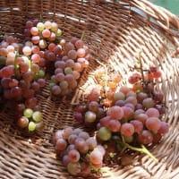 家のブドウの収穫が最盛期を迎えました~