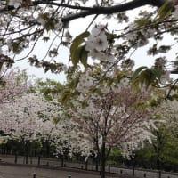 東山動植物園の八重桜が見頃でした。