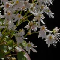 ダイモンジソウ 八重咲きの白い花