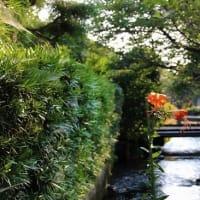 醒井・地蔵川の梅花藻