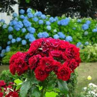 「バラとアジサイ」/山下公園
