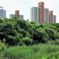クズ      地球を救う      千葉県市川市の深い森