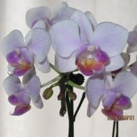 購入後46日が経過したミニ胡蝶蘭の開花状態。