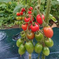Happy農園です。初トマト採れました。 色はいいよ。