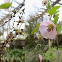 ハイビスカスに似た小さな花(サンレモクイーン)・・・