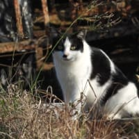 朝の散歩 猫が金魚を狙う
