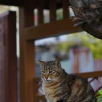 街猫穀雨(コクウスギノマチネコ) ① Okinawan Cats #2241