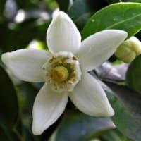 クワの実とユズ(柚子)の花散歩