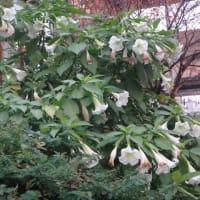 白・黄色の花・トランペット