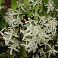 ☆センニンソウの白い花も