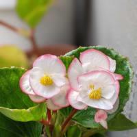 ベゴニアは花色や品種が豊富で多彩です