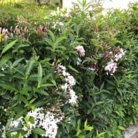 ジャスミンの花と香り 🌿 2019年5月5日(日)