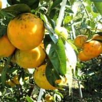 障害者、高齢者に配慮を 事故絶えぬ「片側空け」エスカレーター/蜜柑の摘果と枝吊り/