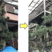 松の手入れをされていなく樹形が乱れてしまっている松の剪定作業