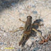 ショウジョウトンボ♀、トノサマバッタ、他昆虫