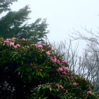 霧のシャクナゲコースNW